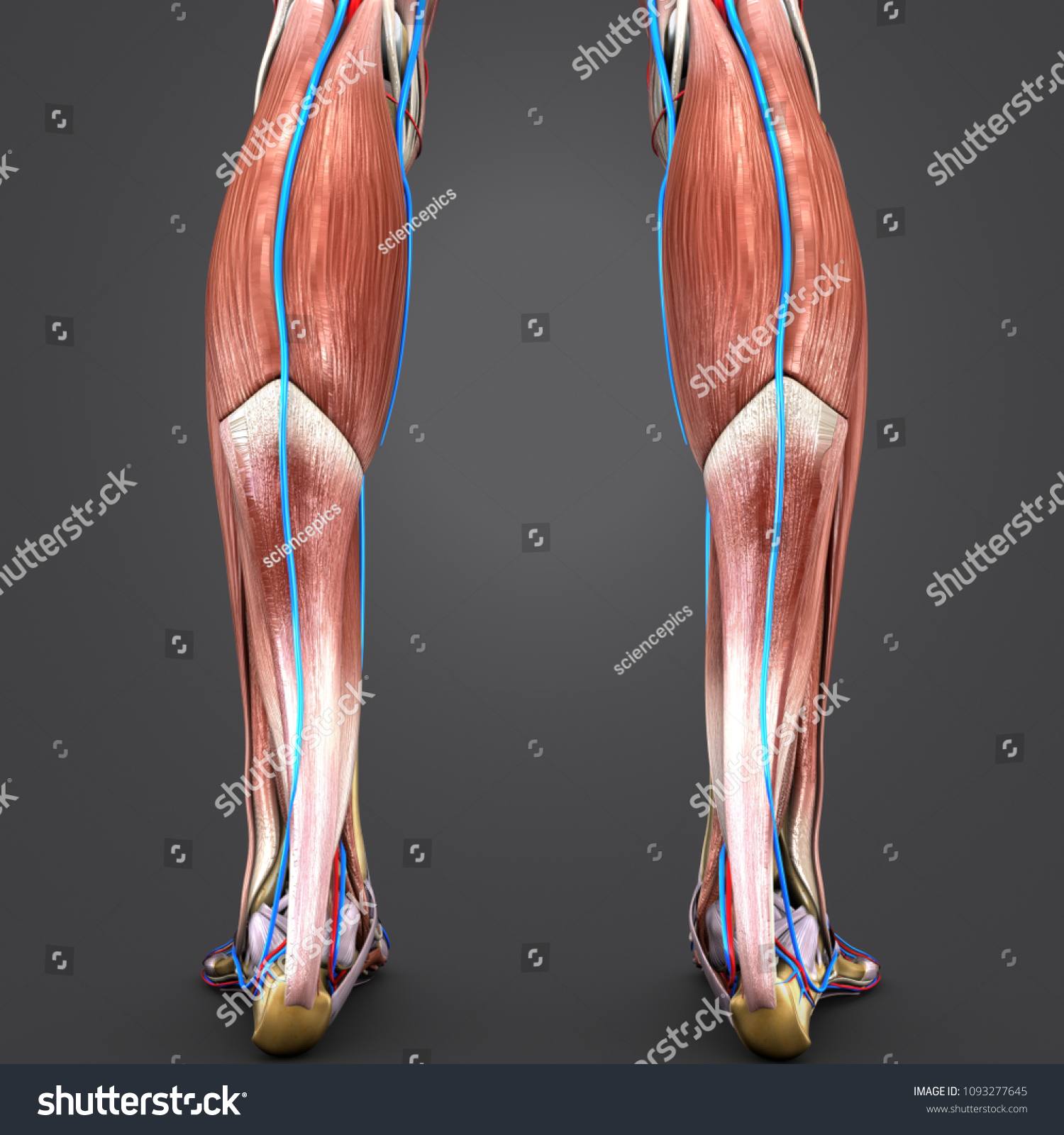 Human Legs Muscle Anatomy Skeleton Arteries Stock Illustration