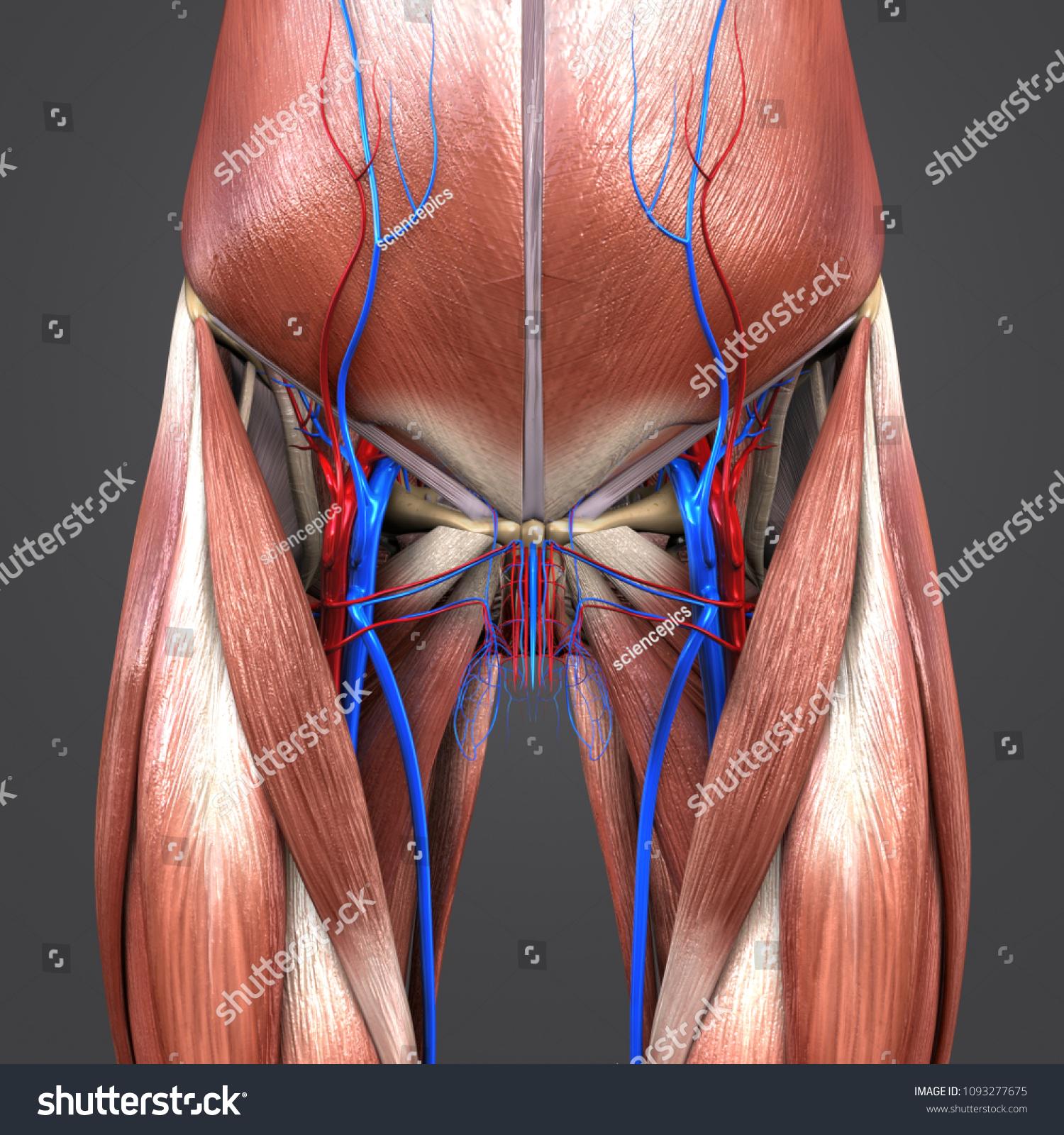 Hip Joint Muscle Anatomy Skeleton Arteries Stock Illustration ...