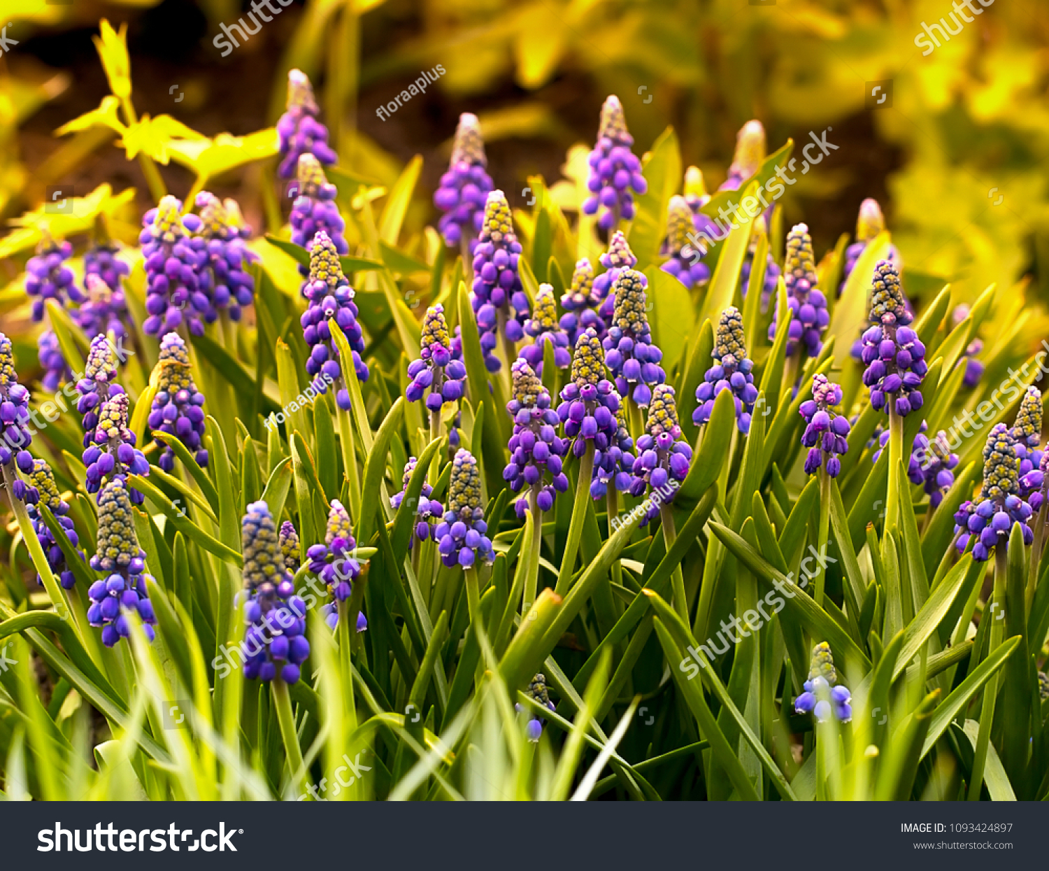 https://image.shutterstock.com/z/stock-photo-blue-muskari-magnificent-blossoming-against-the-background-of-a-garden-thickets-of-a-mouse-1093424897.jpg