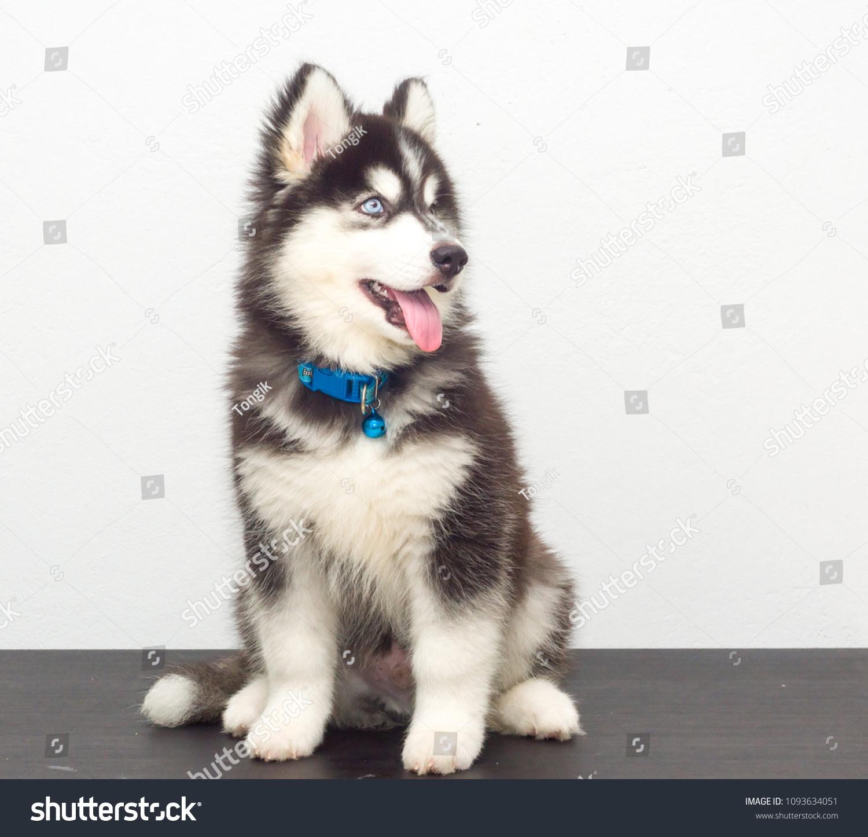 Cute Black Siberian Husky Dog Wooly Stock Photo Edit Now 1093634051
