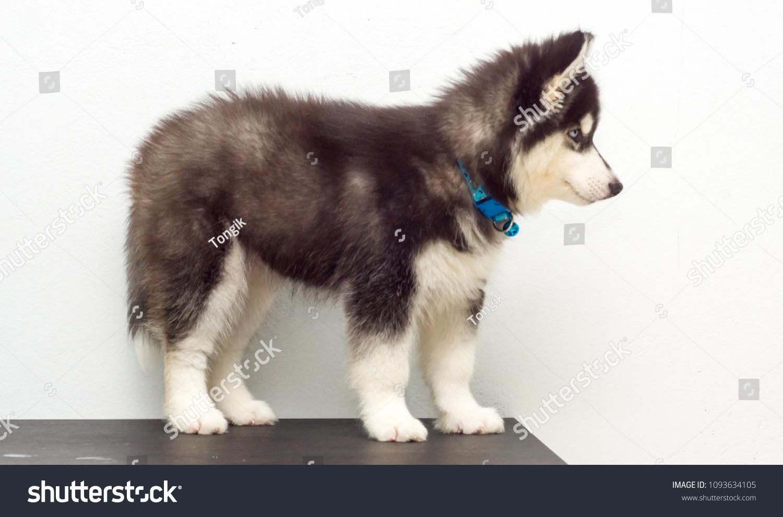 Cute Black Siberian Husky Dog Wooly Stock Photo Edit Now 1093634105