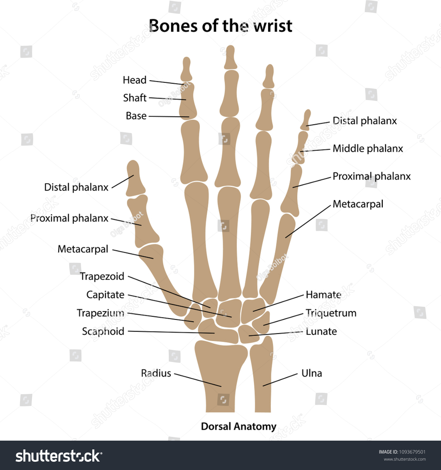 Bones Wrist Main Parts Labeled Vector Stock Vector Royalty Free