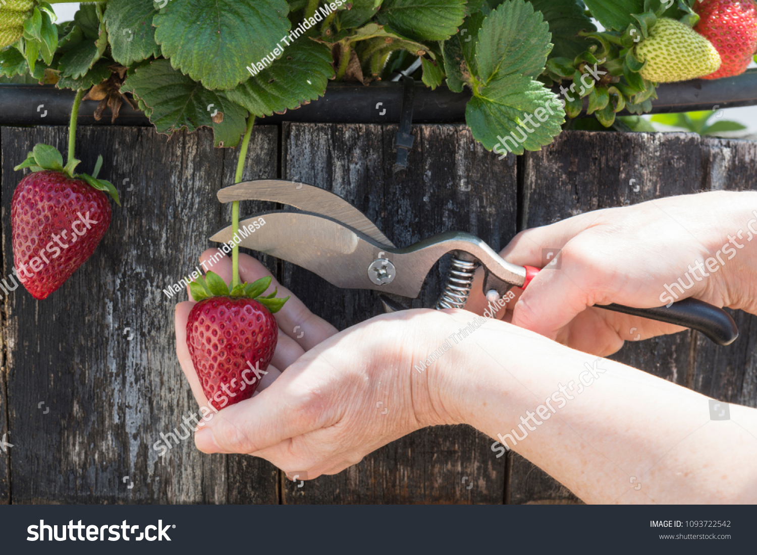 The person harvest strawberries from the plant with the help of scissors