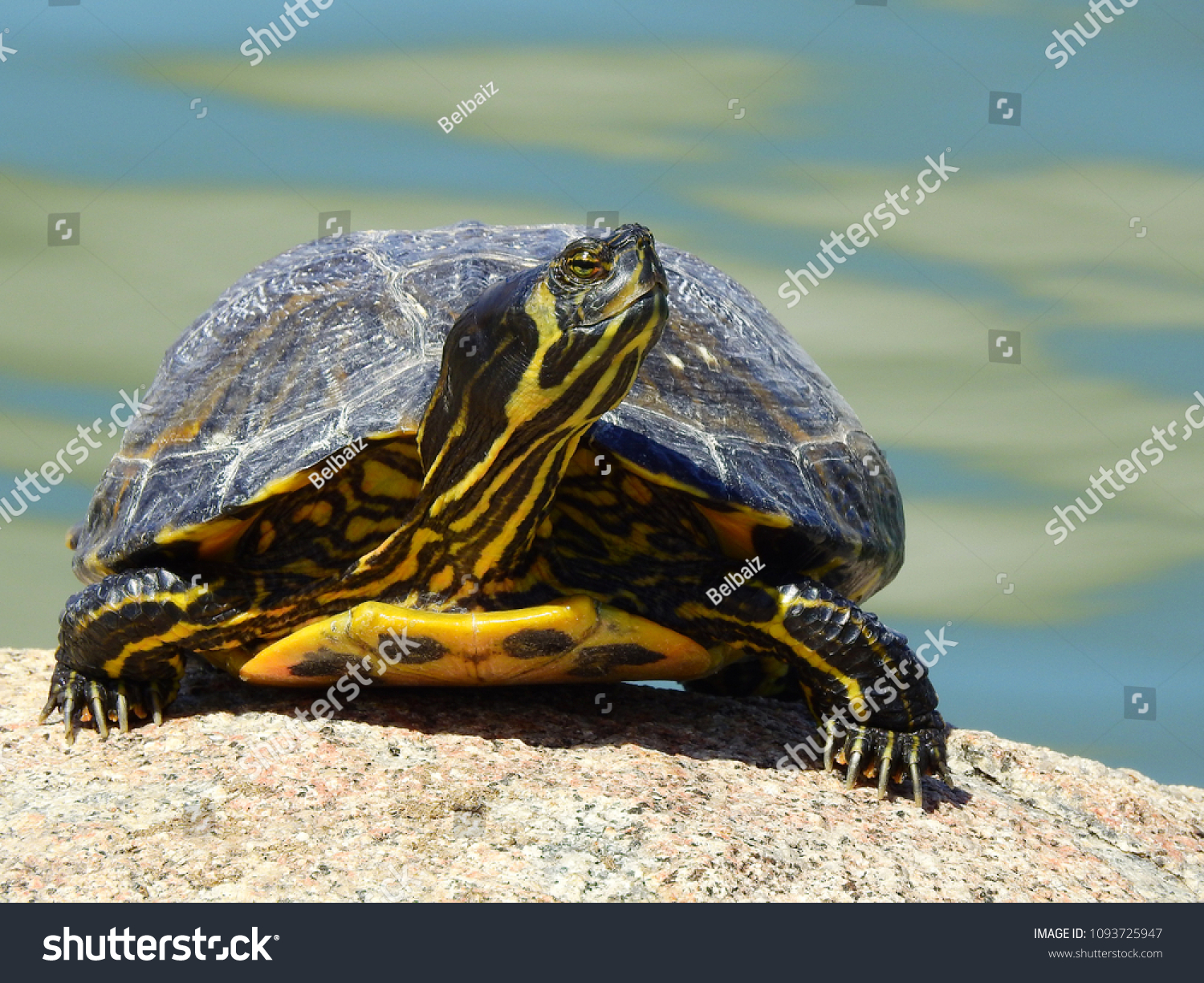 Front Photo Yellow Bellied Slider Turtle Stock Photo Edit Now 1093725947