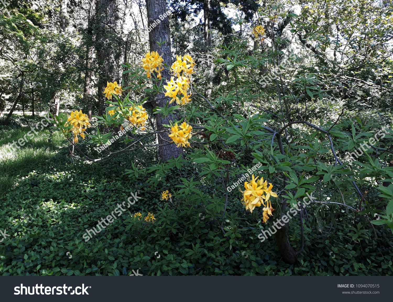 Flowering Shrub Florida Flame Azalearhododendron Austrinum Stock