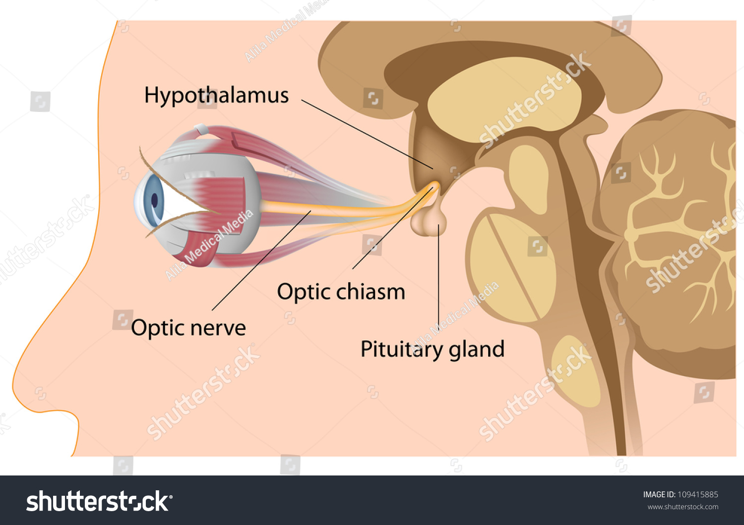 Pituitary Gland Optic Chiasm Stock Illustration 109415885 Shutterstock