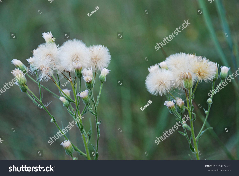 Yellow Flowers White Fluff Similar Dandelions Stock Photo Edit Now