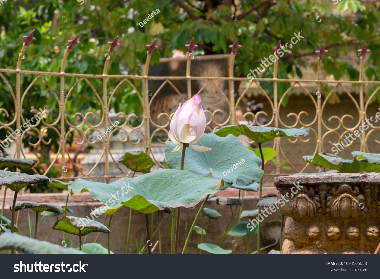 Pink white lotus flower buddhist temple stock photo edit now pink and white lotus flower in buddhist temple of siem reap cambodia wat damnak izmirmasajfo