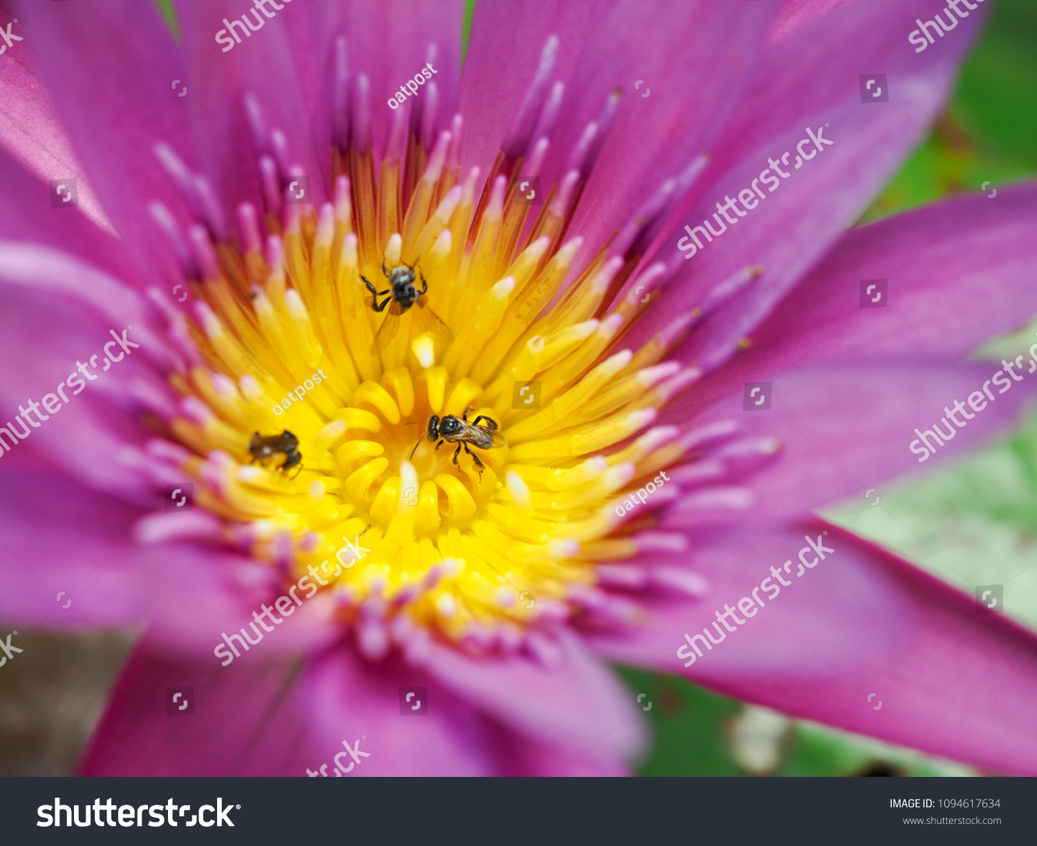 Bee Eat Syrup On Lotus Flower Stock Photo Edit Now 1094617634