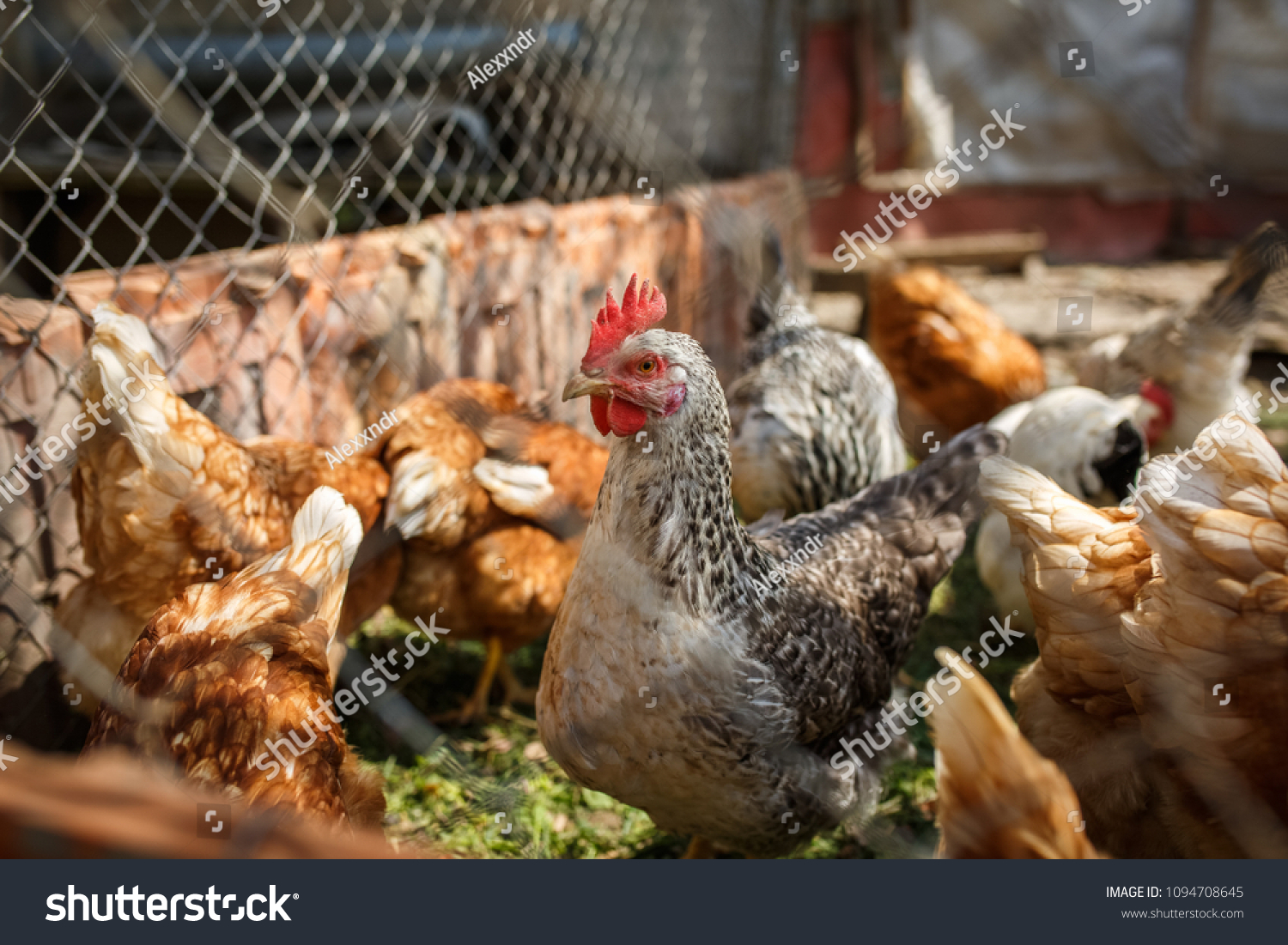 Domestic Poultry Chickens Henhouse Behind Fence Stock Photo