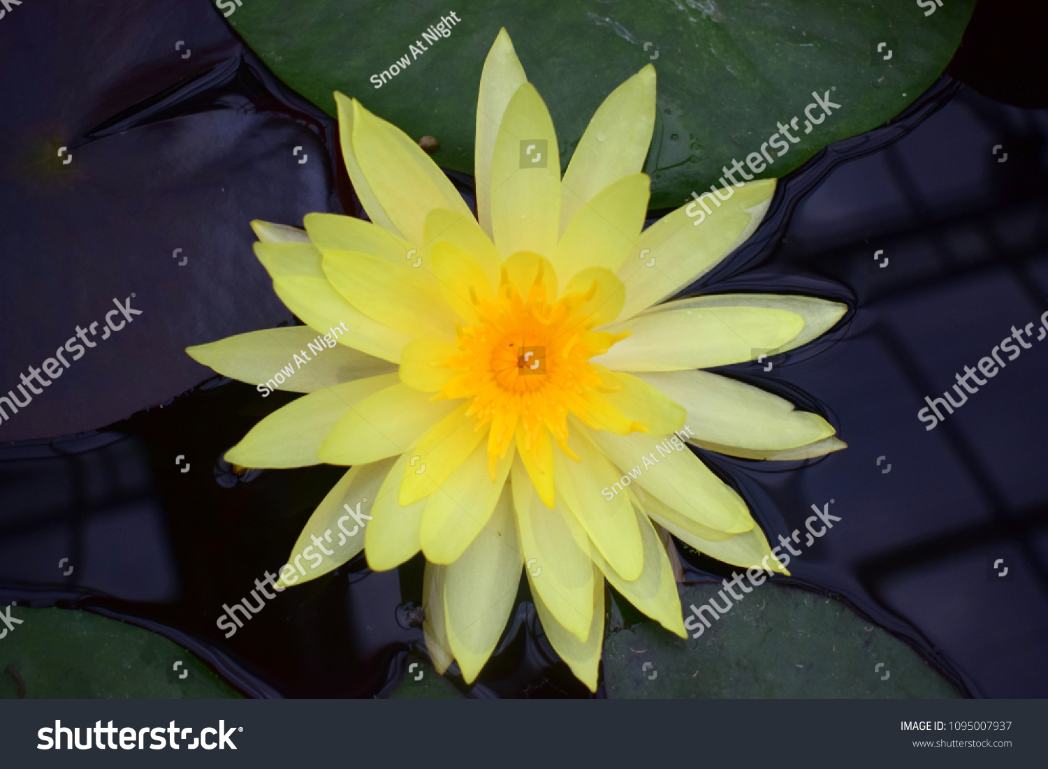 Yellow Lotus Flower Nelumbo Lutea Species Stock Photo Edit Now