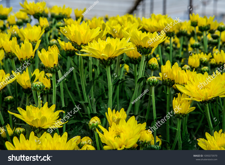 Abstract Background Yellow Flowers Sedum Flowering Stock Photo Edit