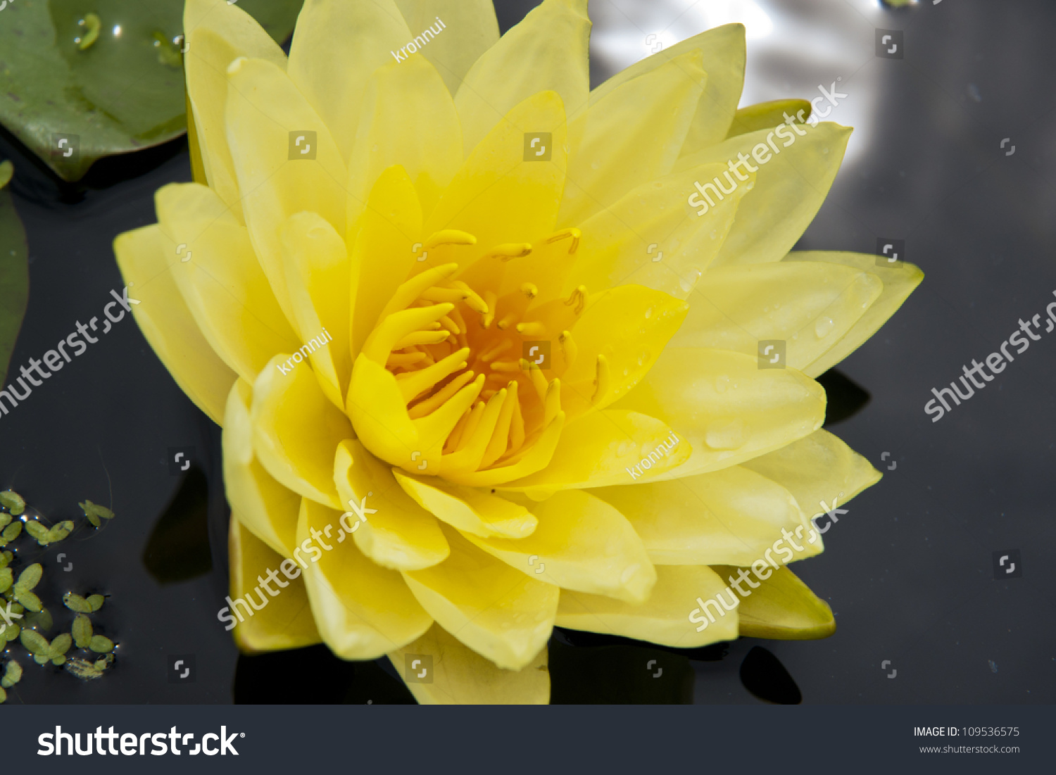 Image Of A Lotus Flower On The Water Ez Canvas