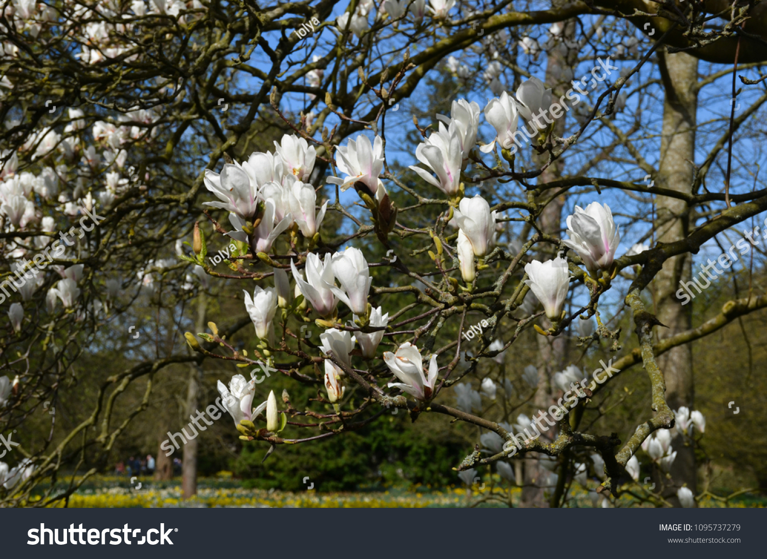 Magnolia Deciduous Tree Large Earlyblooming Flowers Stock Photo