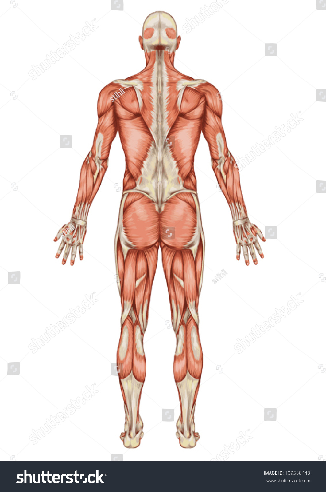 Anatomy Male Muscular System Posterior View Stock Vector (2018 ...
