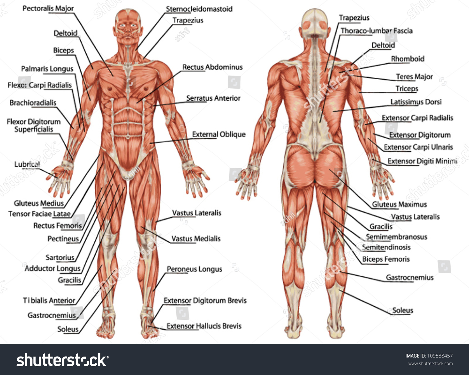 Anatomy Male Muscular System Posterior Anterior Stock Vector