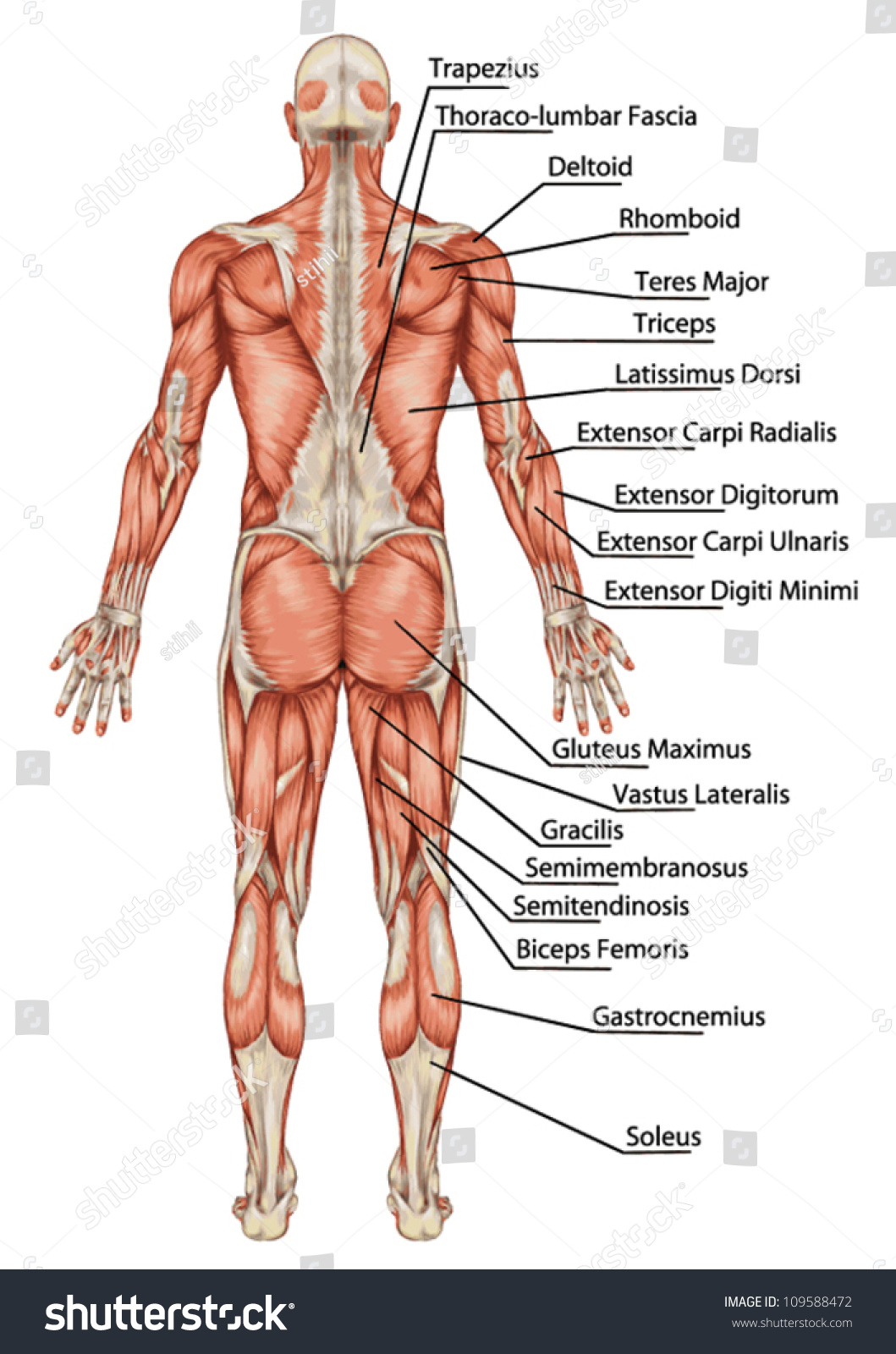 Anatomy Male Muscular System Posterior View Stock Vector 109588472 ...