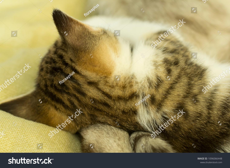 The little striped kitten sleeps. A gentle scene with a pet.