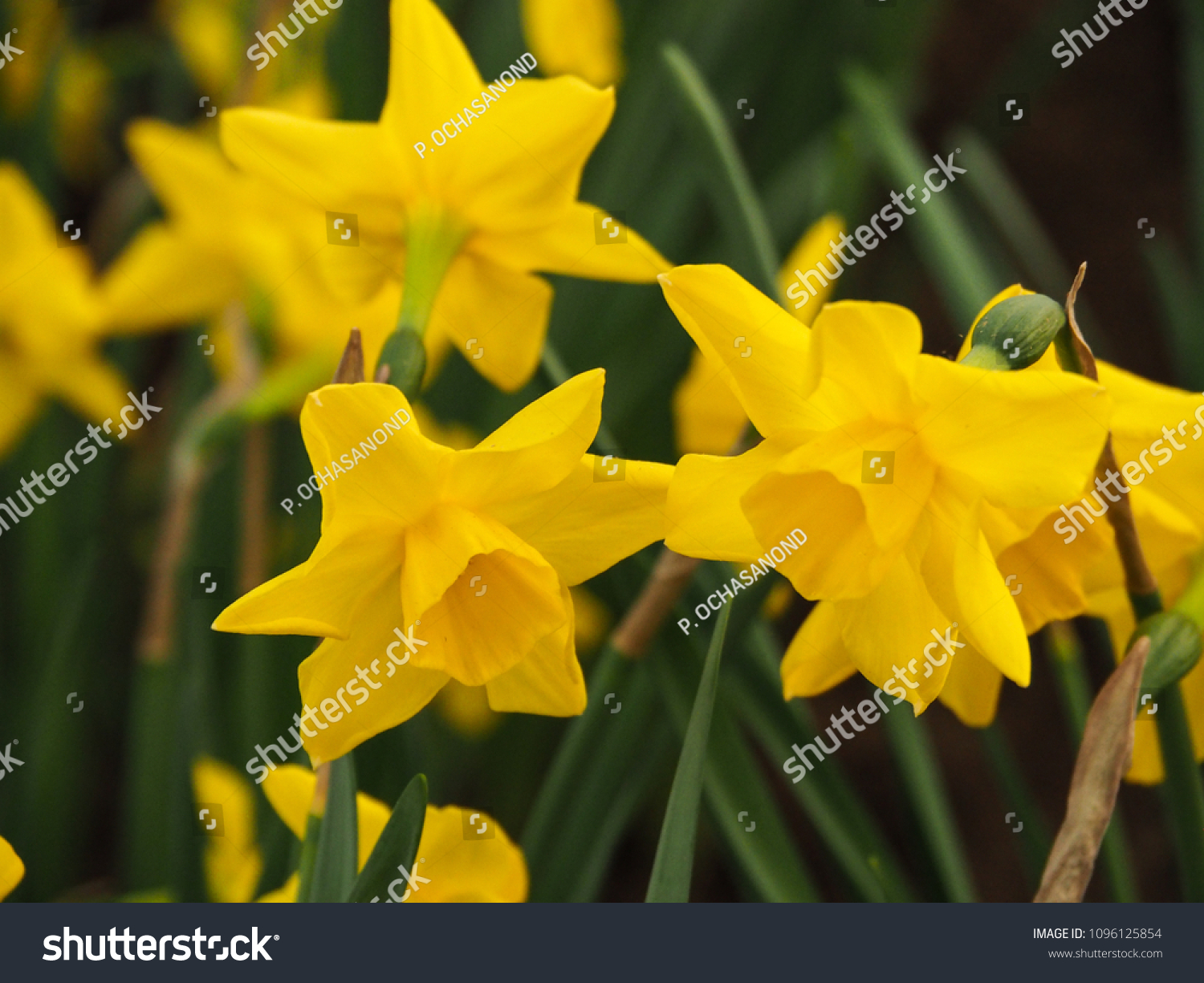 Bright Yellow Narcissus Flowers Common Names Stock Photo Edit Now