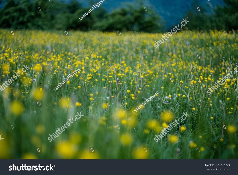 Fiori Gialli Campo.Fiori Gialli Campo Verde Stock Photo Edit Now 1096516829