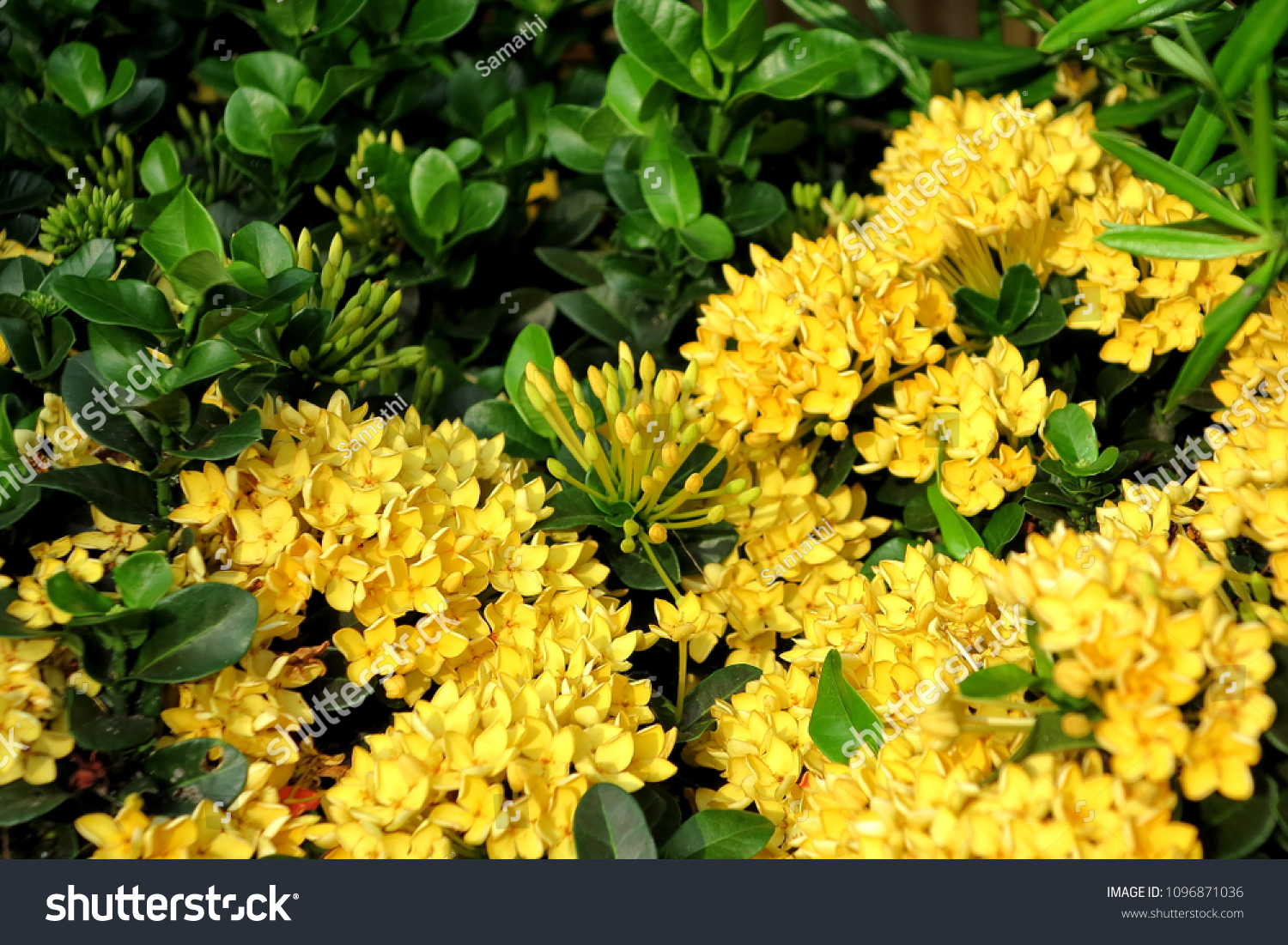 Yellow ixoras west indian jasmine flower stock photo edit now yellow ixoras west indian jasmine flower with green leaf izmirmasajfo