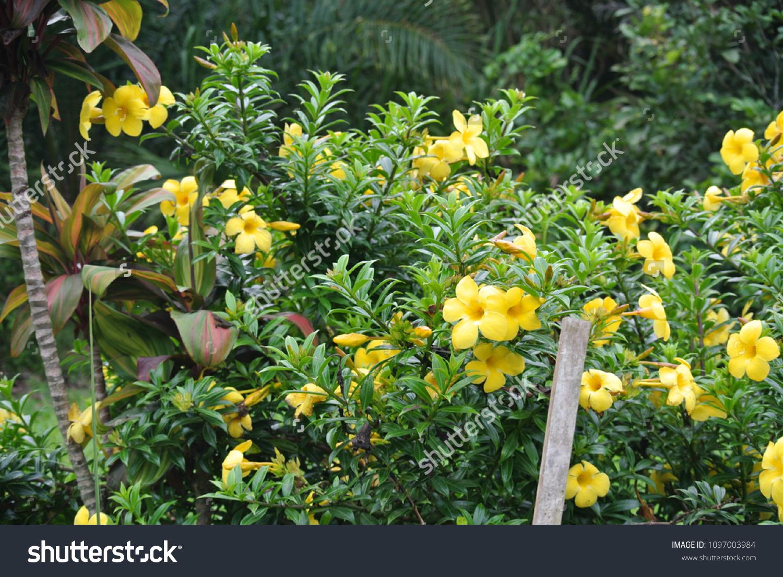 sabah alamanda flower bunga loceng sabah stock photo edit now