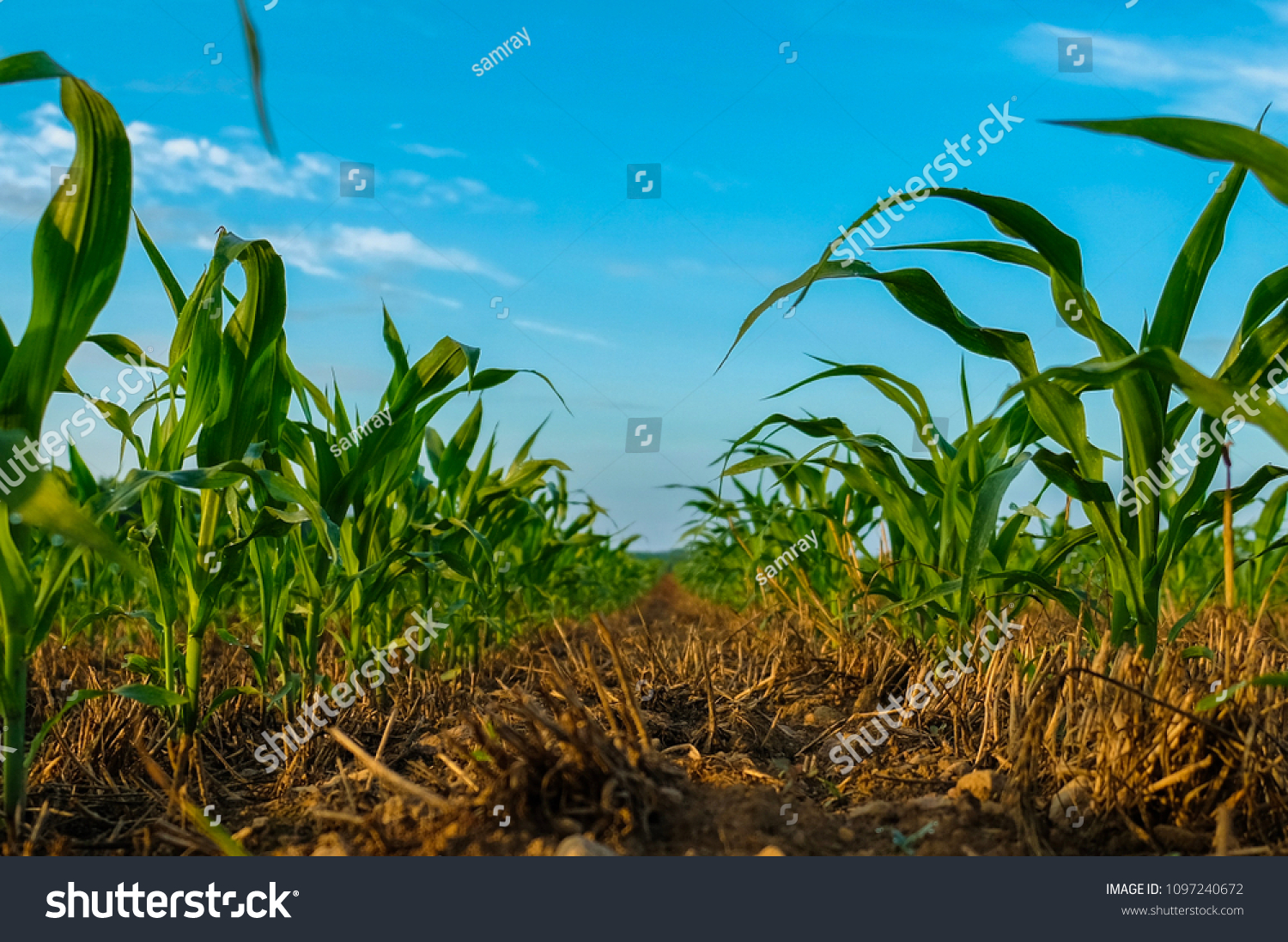 Young field corn grows in a no-till field over wheat stubble on a farm in the Raleigh area in North Carolina. No-till helps maintain healthy soil structure, and crop rotation helps soil nutrition.