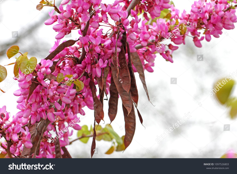 Judas Tree Latin Name Circis Siliquastrum Stock Photo Edit Now