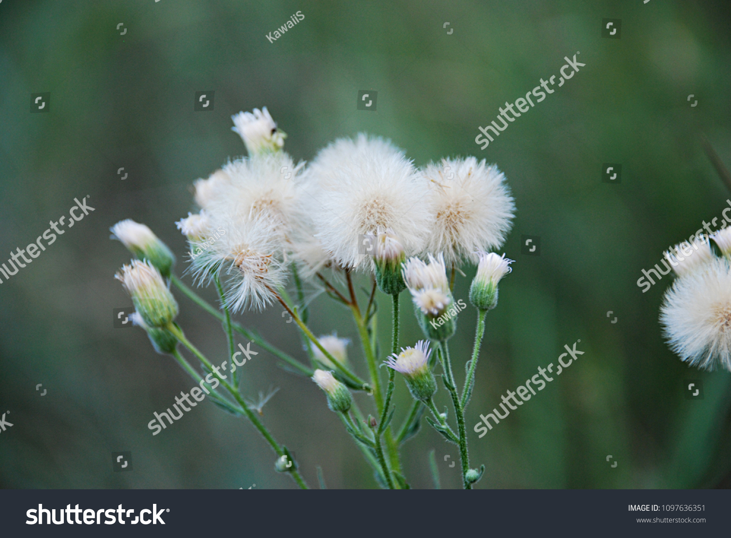 Yellow flowers white fluff similar dandelions stock photo edit now yellow flowers with white fluff similar to dandelions but this is a field milk thistle mightylinksfo