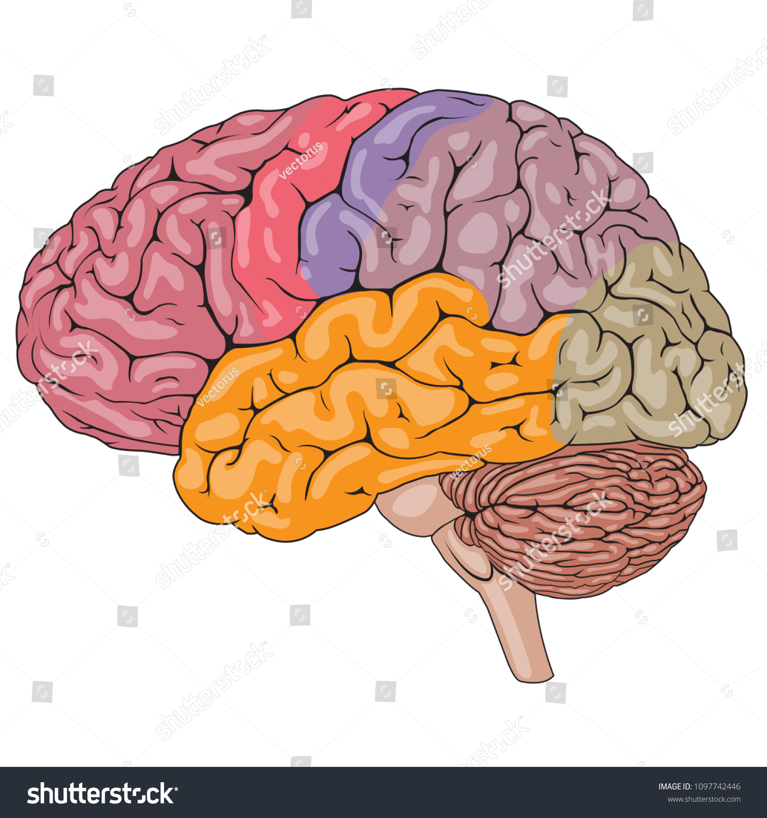 Vector Illustration Human Brain Parts Medical Stock Vector Royalty
