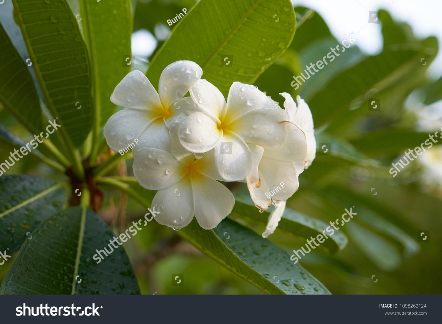 White plumeria west indian jasmine flowers and green leaves in id 1098262124 izmirmasajfo