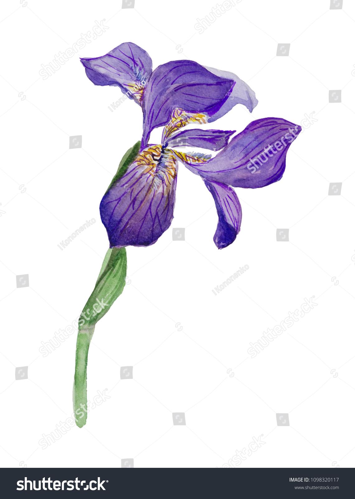 Blue iris flower isolated on white backgrounds ez canvas izmirmasajfo