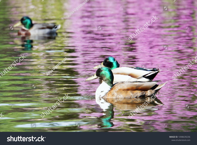 Beautiful Purple Pond Ducks Oldenburg Castle Stock Photo