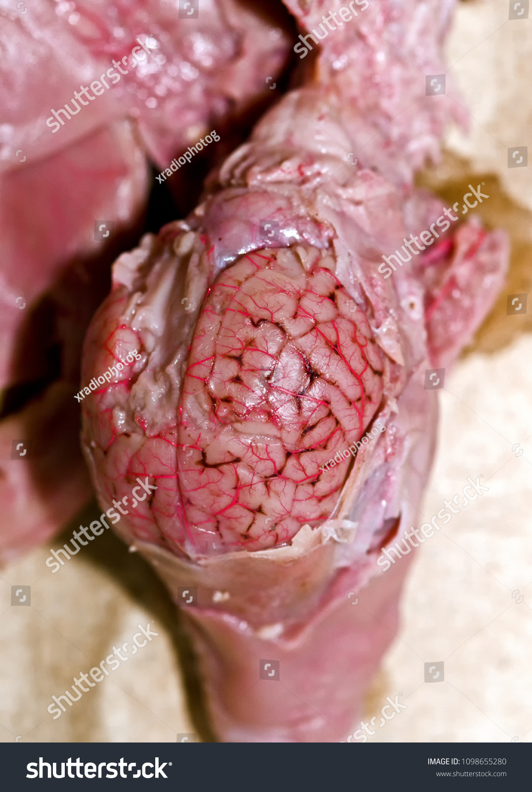 Fetal Pig Skull Dissection Expose Brain Stock Photo (Edit Now ...