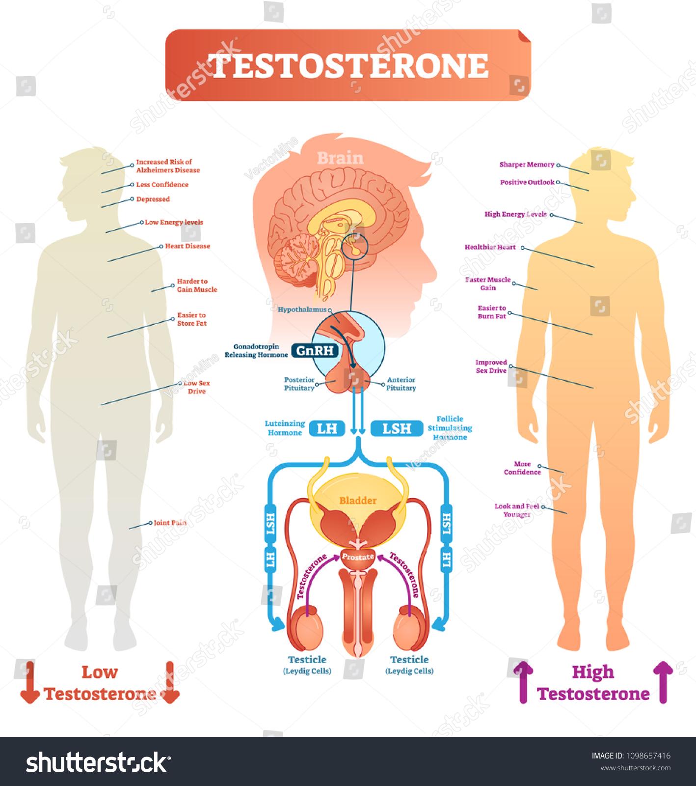 Testosterone Anatomical Biological Body Diagram Brain Stock