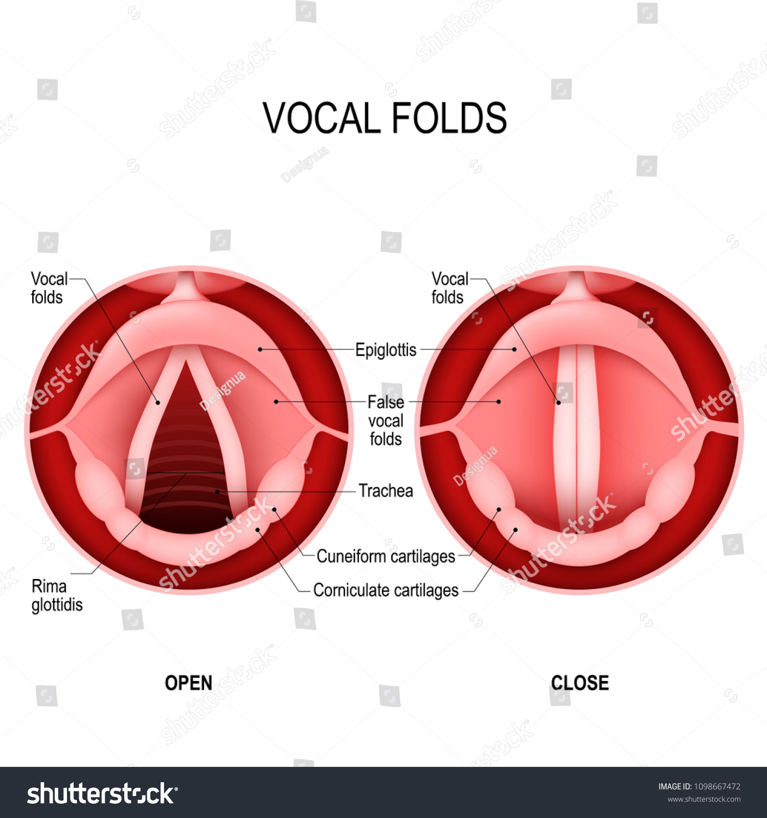 Vocal Folds Human Voice Vocal Cords Stock Vector 1098667472 ...