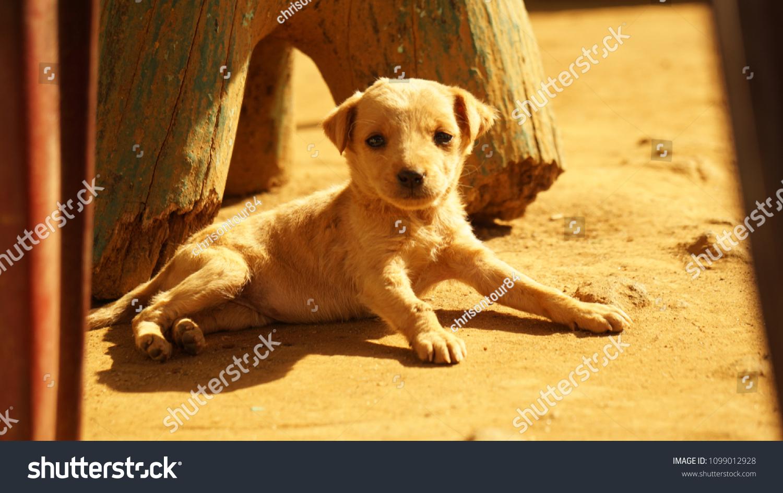 Cute Baby Dog Sri Lanka Stock Photo Edit Now 1099012928 Shutterstock