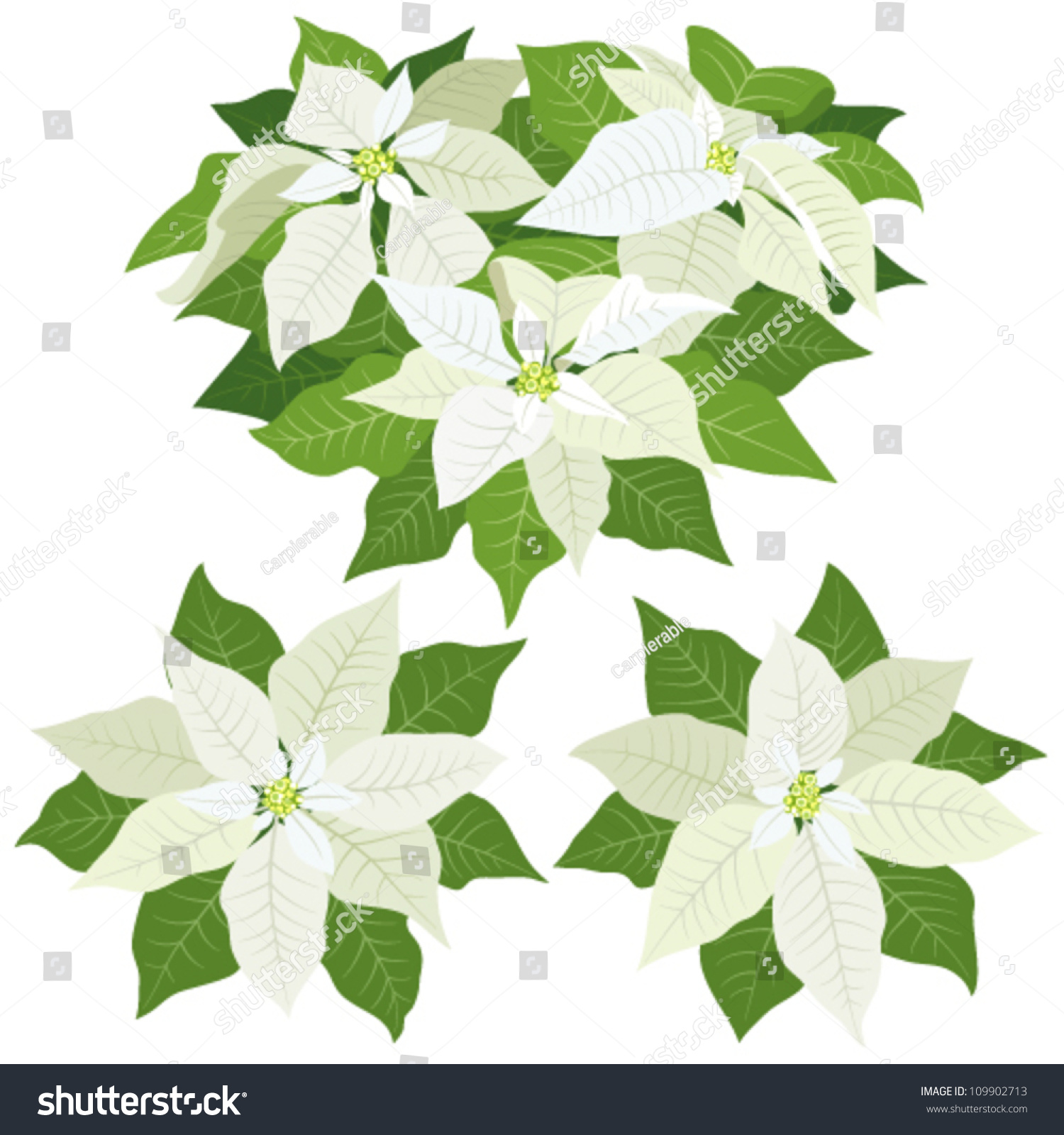 white poinsettia flowers for christmas decorations on white background - White Christmas Flower Decorations