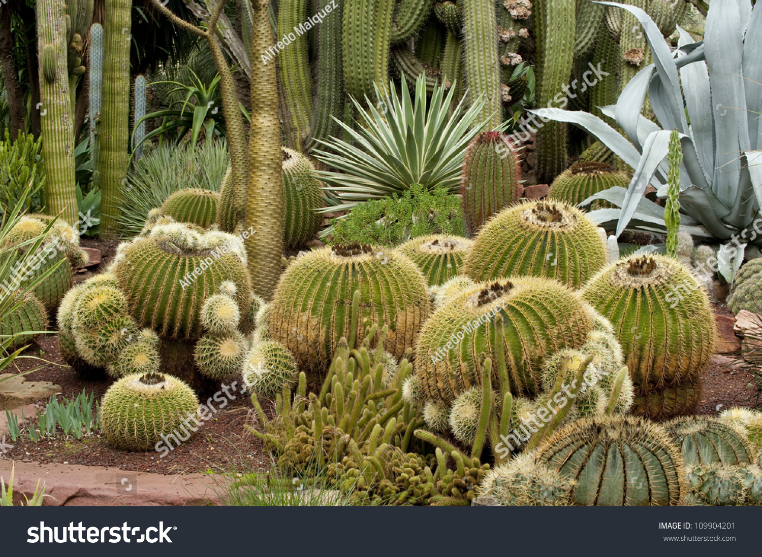 Cactus Garden El Huerto Del Cura Stock Photo 109904201 ...