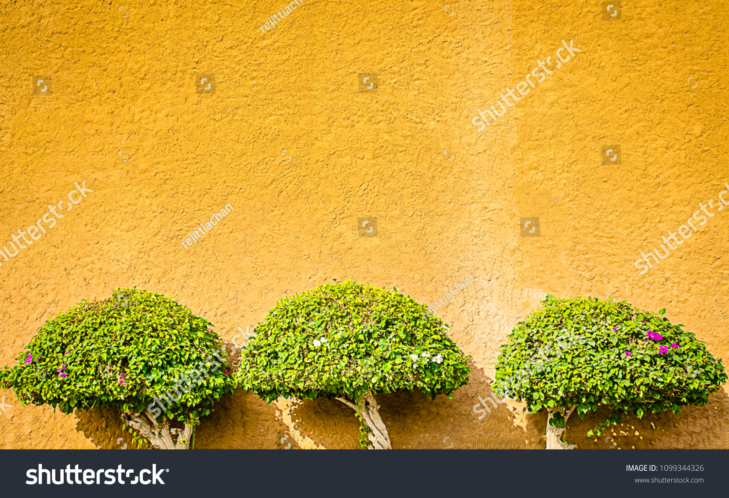 Decorative Plants on the Wall. Three plants, nicely maintained and trimmed grown on an ochre wall for decoration