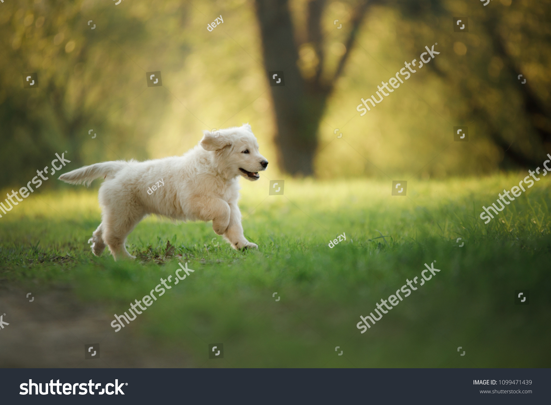 Golden Retriever Puppy Runs On Grass Stock Photo Edit Now