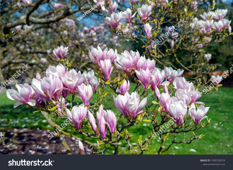 Flowering Branches Saucer Magnolia Magnolia X Stock Photo Edit