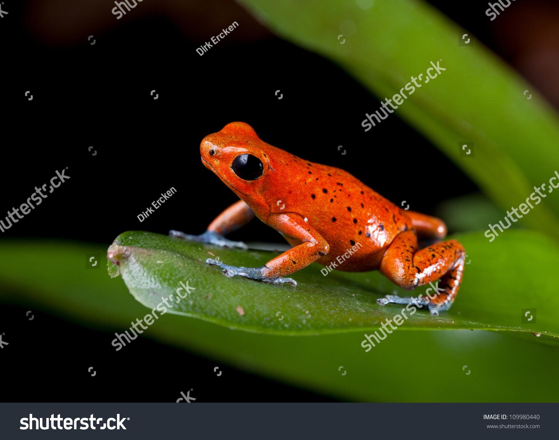 Pet frogs species - photo#40