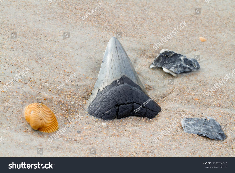 Megalodon Shark Tooth Beach Sand Stock Photo (Edit Now