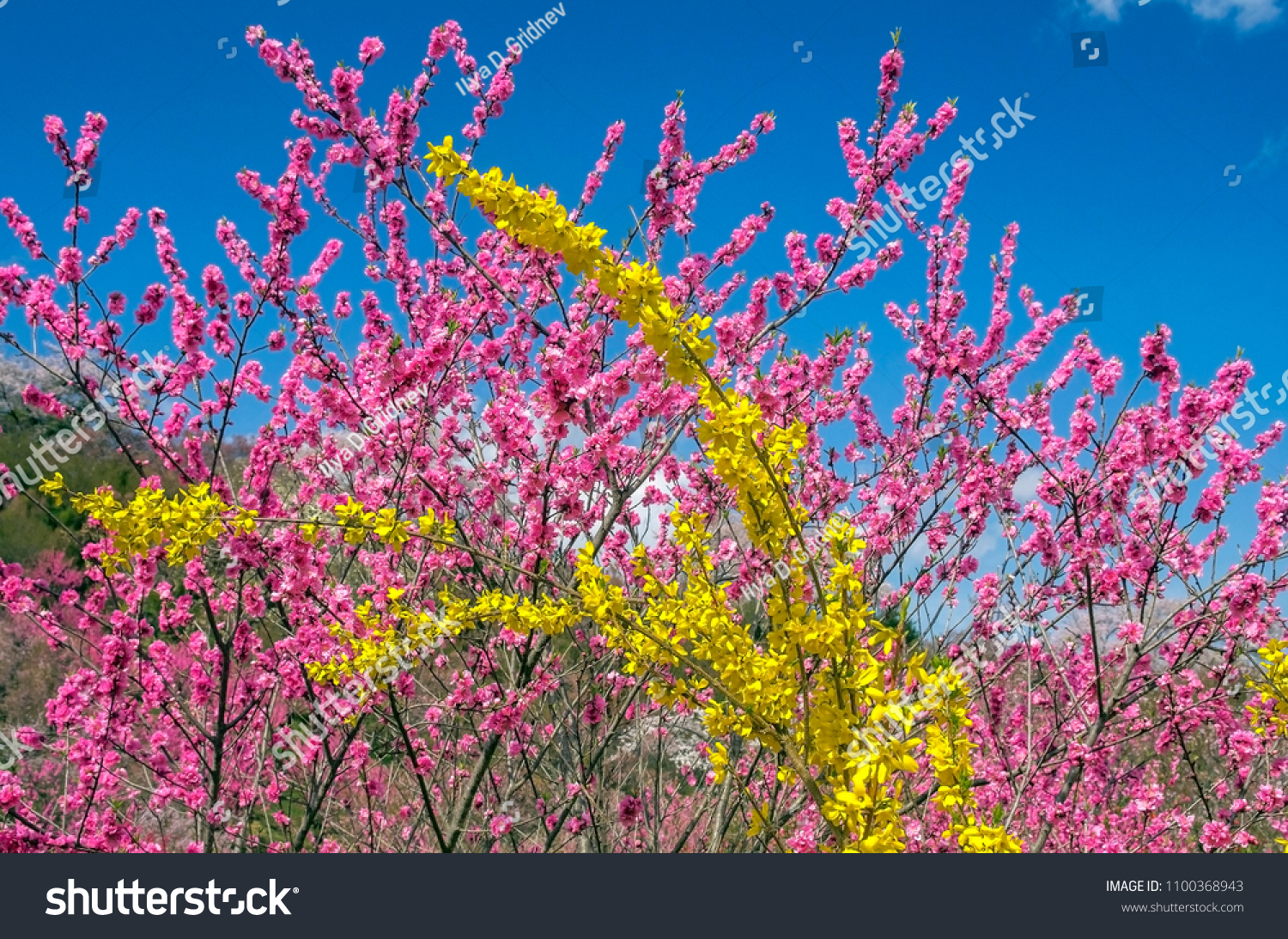 Pink Peach Blossom Yellow Forsythia Flowers Stock Photo Edit Now