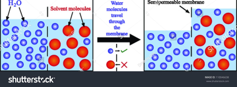 osmosis cell membrane