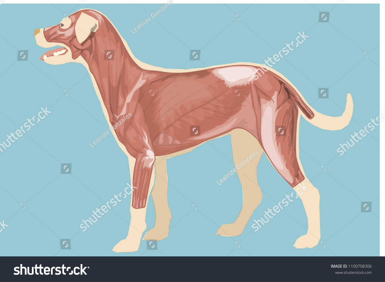Canine Anatomy Muscular System Plain Blue Stock Illustration
