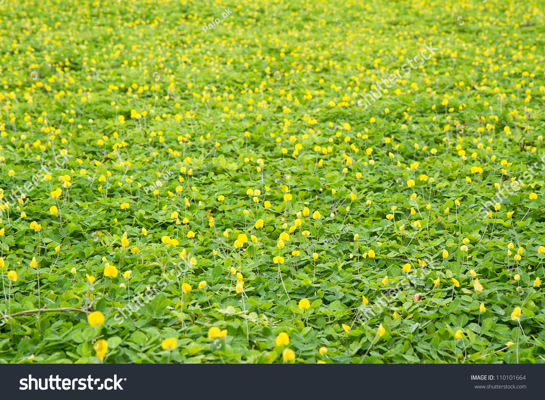 White mustard - siderat. White mustard as a fertilizer 36