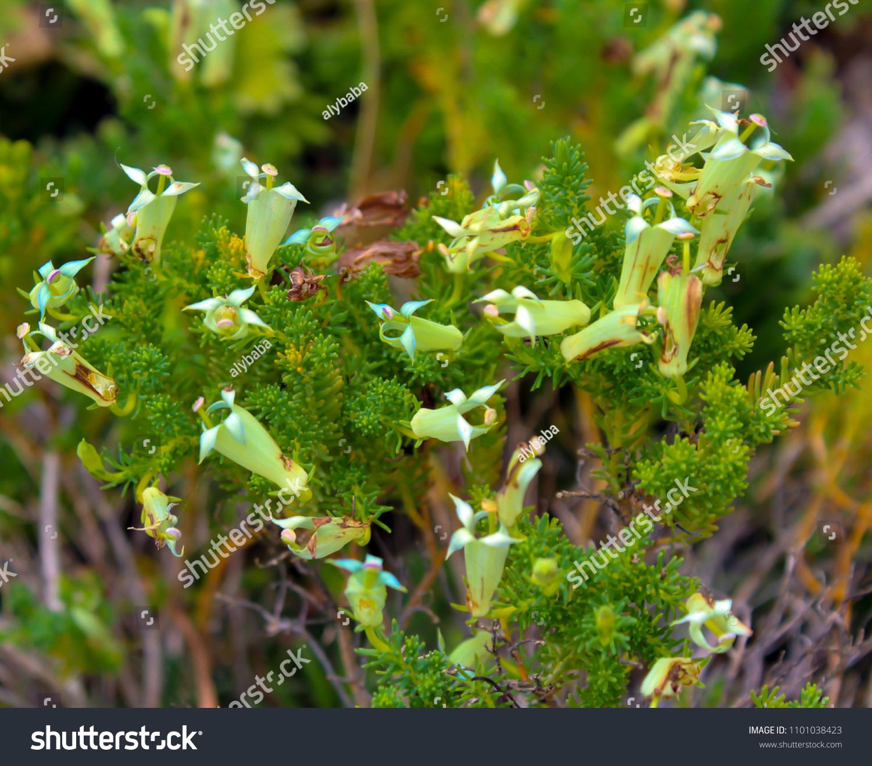 Dainty White Tubular Flowers Lechenaultia Acutiloba Stock Photo