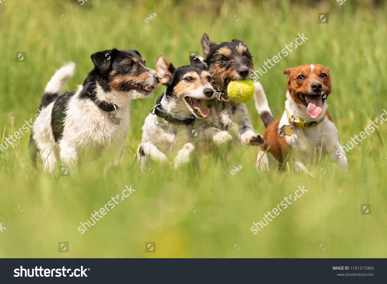 Many dogs run and play with a ball in a meadow - a cute pack of Jack Russell Terriers #1101215969